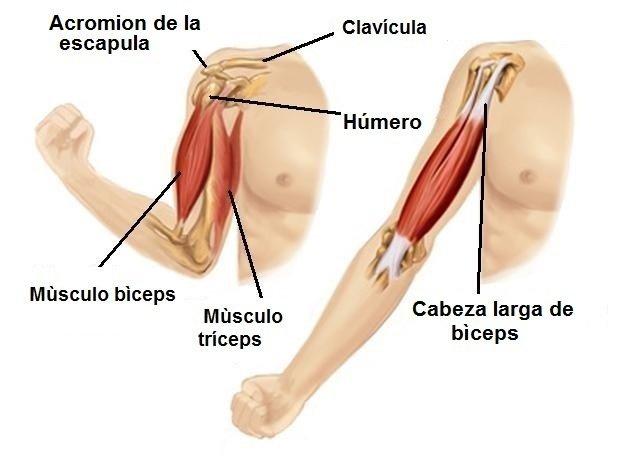 Biceps | Vives bien
